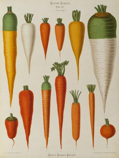 Carrots, Album Benary / Colour lithogr.