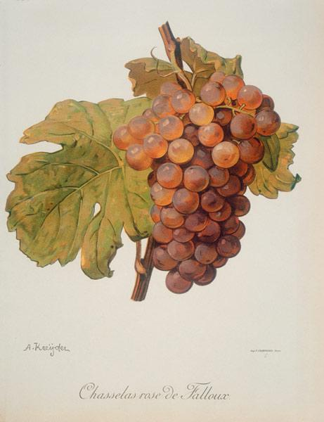 Grapevines: Chasselas rose Falloux