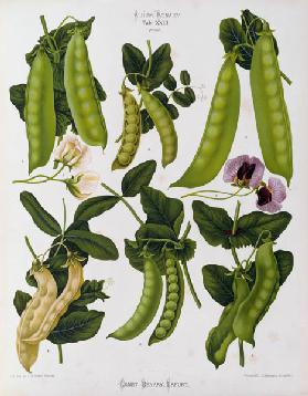 Peas / Album Benary / Lithograph