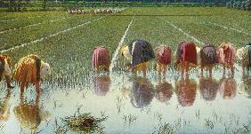 For eighty cents (work in the paddy-field)