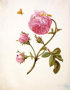 Rose with butterflies in different stands um 1680