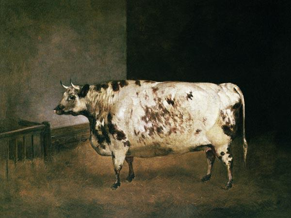 Shorthorn Cow