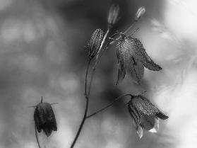 Monochrome bluebells