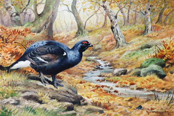 Black Cock Grouse by a stream (w/c)
