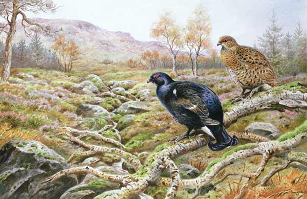 Black Grouse on a Moor