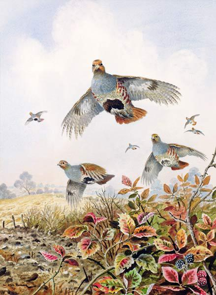 Flushed Partridges