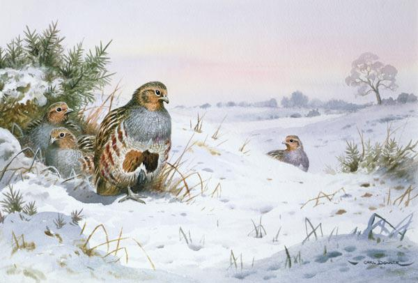 Grey Partridge (w/c)
