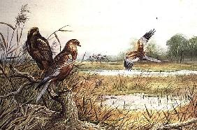 Marsh Harriers (w/c)