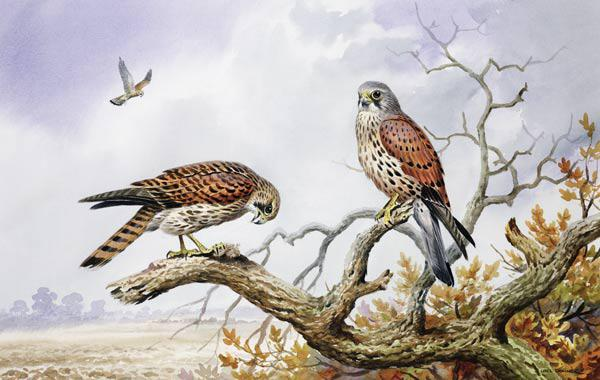 Pair of Kestrels (w/c)