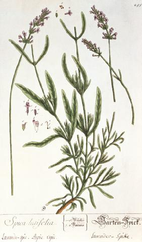 Lavender Spike, plate from 'Herbarium Blackwellianum' by the artist