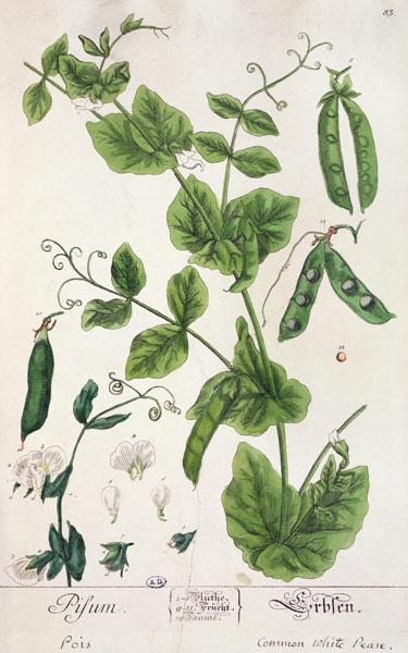 Pea, plate from 'Herbarium Blackwellianum' by the artist