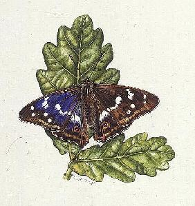 Purple Emperor Butterfly on Oak leaves (w/c)