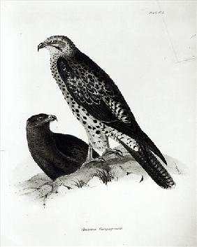 Birds of Prey, plate 2 from ''The Zoology of the Voyage of H.M.S Beagle, 1832-36'' Charles Darwin