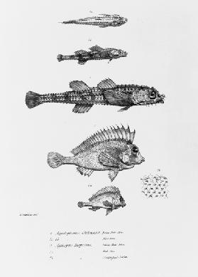 Aspidophorus Chiloensis and Agriopus Hispidus, plate 7 from ''The Zoology of the Voyage of H.M.S Bea