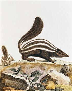 Skunk, from ''Histoire Naturelle'' Georges Louis Leclerc Buffon (1707-88) 1749-1804