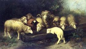 The Sheep Trough