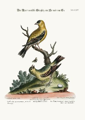 The American Goldfinch, Cock and Hen