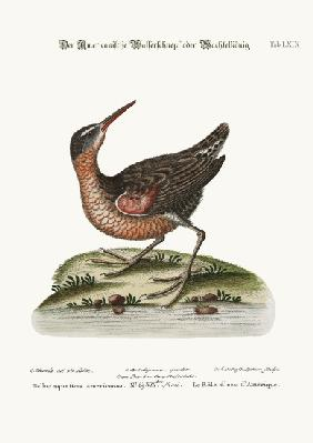 The American Water-Rail