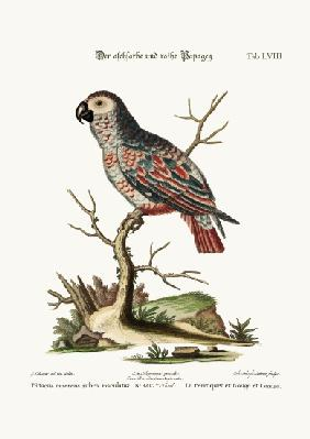 The Ash-coloured and Red Parrot