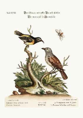 The Black and Yellow Creeper. The American Hedge-Sparrow