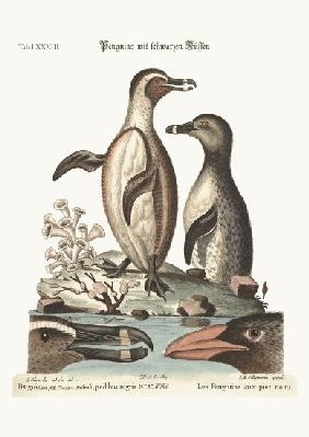 The black-footed Penguins