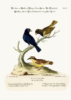 The Black Linnet, the Olive-coloured Linnet, and the Yellow-bellied Creeper