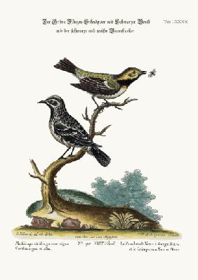 The Black-throated Green Flycatcher, and the Black and White Creeper