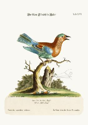 The Blue Jay from the East-Indies