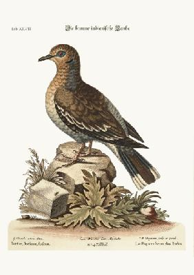 The brown Indian Dove
