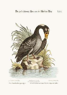 The Great Black Duck from Hudson's Bay