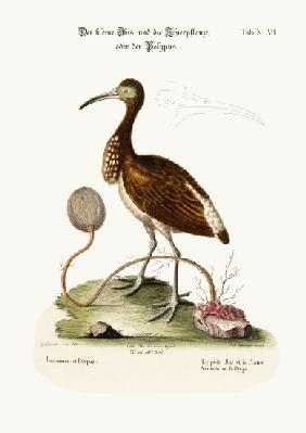 The Lesser Ibis, and the Animal-Plant or Polype