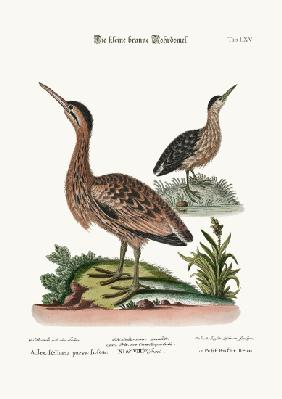 The Little Brown Bittern