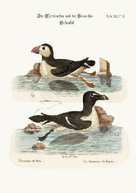The Puffin, and the Razor-bill
