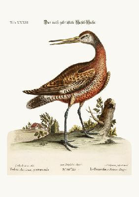 The Red-breasted Godwit