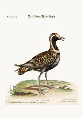 The Spotted Plover