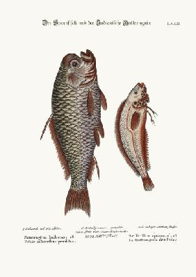 The Spur-Fish, and the Indian Gattorugina
