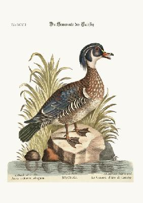 The Summer Duck of Catesby