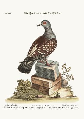 The triangular Spotted Pigeon