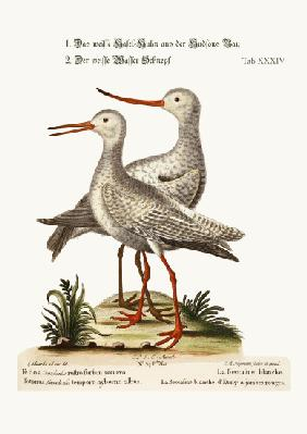 The White Godwit from Hudson's Bay. The White Red-Shank or Pool-Snipe