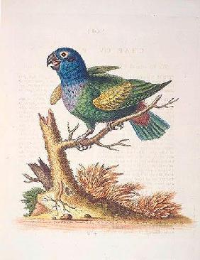The Blueheaded Parrot. / Le Perroquet bleue