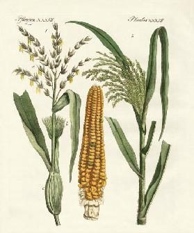 Kinds of corns