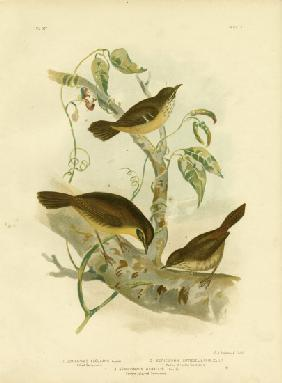 Allied Scrubwren Or White-Browed Scrubwren