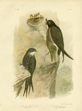 Australian Swift Or Fork-Tailed Swift