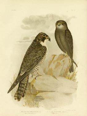 Black-Cheeked Falcon