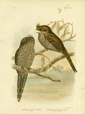 Cuvier'S Podargus Or Tawny Frogmouth