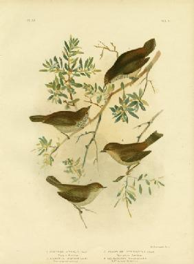 Inland Thornbill Or Broad-Tailed Thornbill