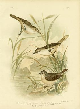 Long-Billed Reed-Warbler