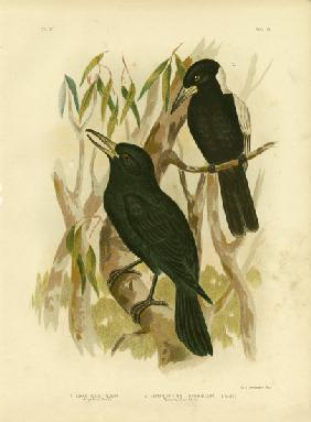 Quoy'S Crow-Shrike Or Black Butcherbird