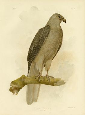 Whistling Eagle Or Whistling Kite