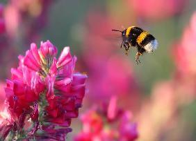 Giardini di ulivi quadro di pierre auguste renoir - Bumble bee pictures a colori ...